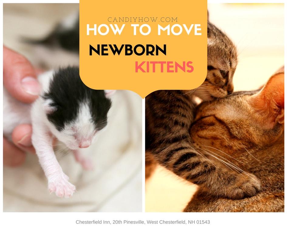 Moving Newborn Kittens How Should I Move Newborn Kittens
